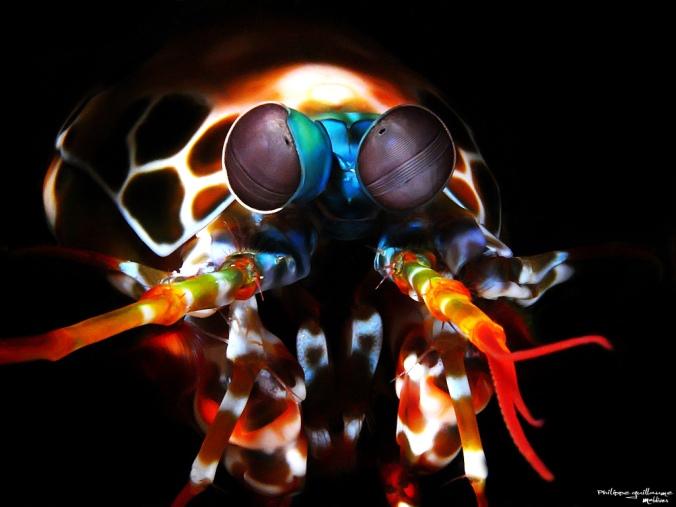 Langosta Mantis (Haptosquilla trispinosa)