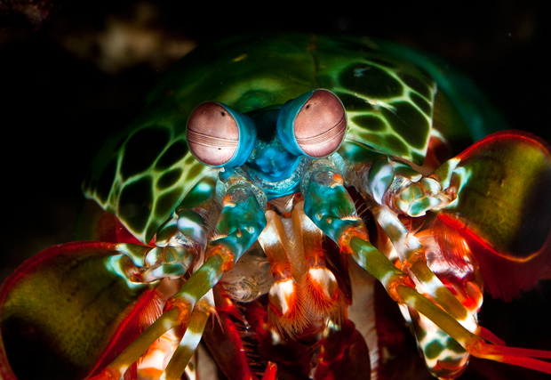 mantis-shrimp-gary-granitch