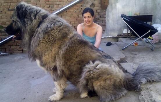 chiens-plus-grands-que-leurs-maitres